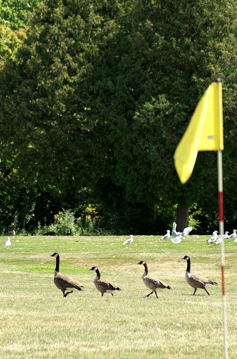 4 Canada Geese walk past golf green at Eganridge Golf and Contry Club before a wedding
