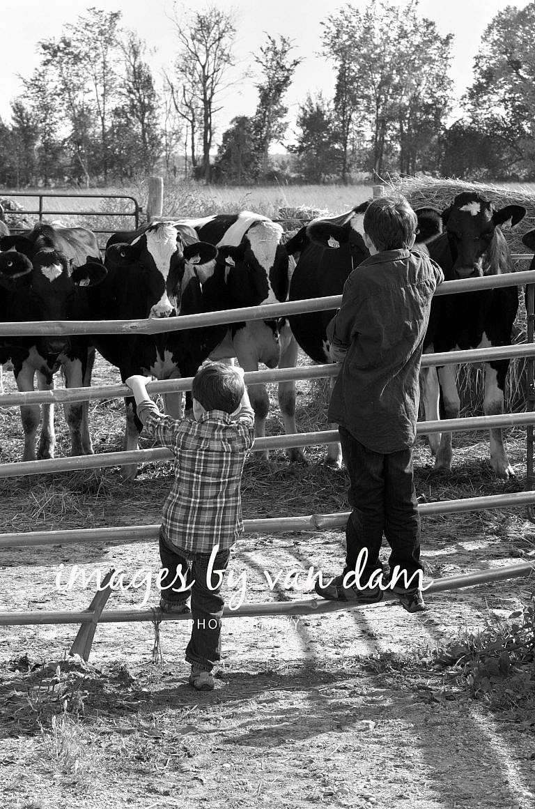 Two young boys climb a fence to get a better look at the cows stayner photographer barrie photographer family portraits wasaga photographer collingwood photographer